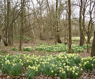 Sandhurst, Berkshire - Image: Daffodils in Ambarrow Court geograph.org.uk 709473
