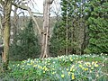 Daffodils in the wood at Stank - geograph.org.uk - 154240.jpg