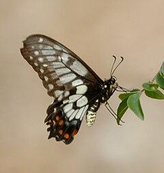 Dainty swallowtail kobble07