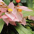 Dalechampia spathulata-IMG 0449.jpg