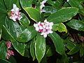 Daphne Odora flower.jpg