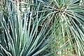 Dasylirion acrotrichum 01 Pengo.jpg