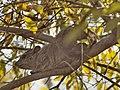Dendrohyrax arboreus.jpg