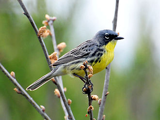 Kirtland's warbler - Male in Michigan, United States