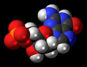 Deoxyguanosine monophosphate - Image: Deoxyguanosine monophosphate anion 3D spacefill