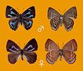 Deramas toshikoae, male and female.JPG