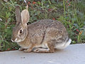 Desert Cottontail in yard 2013-01-04 (3).jpg