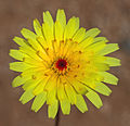 Desert dandelion.jpg