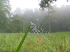 Dew-beaded spider lines off of grass blade - foggy morning.jpg