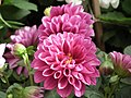 Dhalia from Lalbagh flower show Aug 2013 7922.JPG