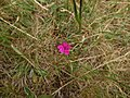 Dianthus deltoides Orikrin 004.jpg