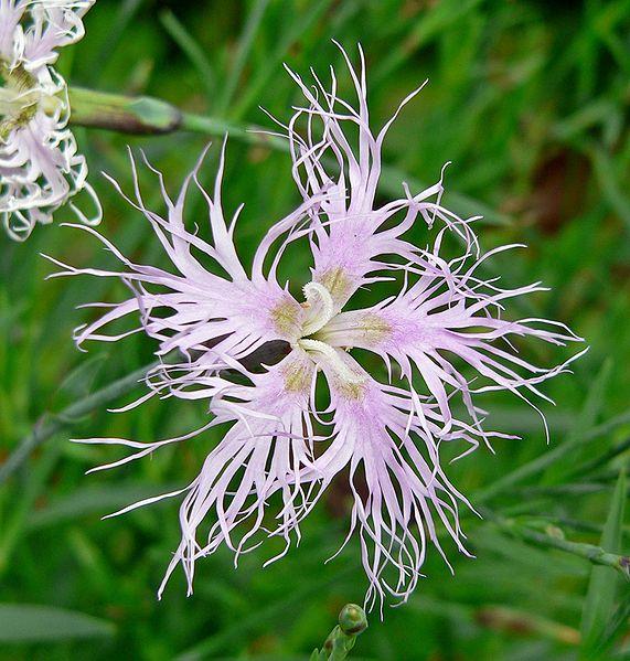 ファイル:Dianthus superbus 5.jpg
