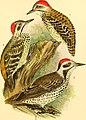 Die Vögel Afrikas (1900) (20762654889).jpg