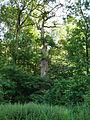 Diese vierte Eiche ,steht auch im Tal der Walbke sie ist so zugewachsen das Sie dem Ableben.JPG