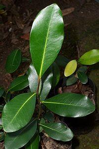 Diospyros australis juvenile