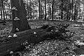 Dode bomen zijn onmisbaar in de voedselkringloop. Locatie, Kroondomein Het Loo 02.jpg