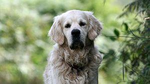 Dog (Canis lupus familiaris)