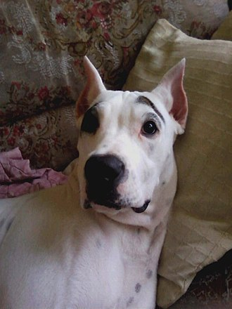 Cropping (animal) - A Guatemalan Dogo with cropped ears