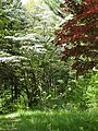 Dogwood-Japanese Maple 073.jpg