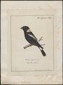 Dolichonyx oryzivora - 1700-1880 - Print - Iconographia Zoologica - Special Collections University of Amsterdam - UBA01 IZ15800291.tif