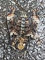 Dornbirn-Matengaweg-Acherontia atropos-01ASD.jpg