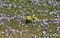 Drebacher Krokuswiesen 2H1A6505WI.jpg