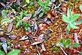 Drocera rotundifolia 1 (16161527069).jpg