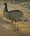 Dromaius novaehollandiae (Emu).jpg