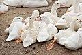 Duck farming at Huwei 20080520 01.jpg