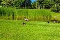 Ducks (28356532649).jpg