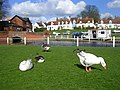 Ducks and Geese at Finchingfield - geograph.org.uk - 155464.jpg