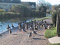 Ducks on the towpath of the Kennet and Avon Canal - geograph.org.uk - 1066016.jpg