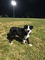 Duke border collie 3.jpg