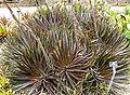 Dyckia platyphylla 3.jpg