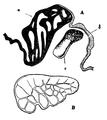 EB1911-Gastropoda 8.png