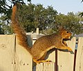 Eastern Fox Squirrel 5.jpg