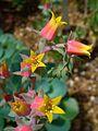Echeveria gibbiflora 003.JPG