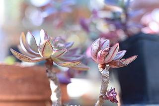 <i>Echeveria nodulosa</i> species of plant