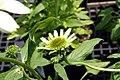Echinacea purpurea Coconut Lime 2zz.jpg