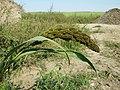 Echinochloa esculenta sl19.jpg