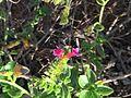 Echium stenosiphon1.jpg