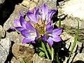 Edraianthus tenuifolius 2.JPG