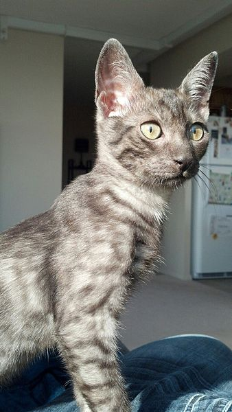 Black Egyptian Mau Cat