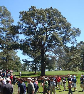 Eisenhower Tree Loblolly pine formerly located on the Augusta National Golf Club in Augusta, GA, US
