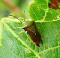 Elasmostethus interstinctus Birch Shieldbug. Acanthosomatidae - Flickr - gailhampshire.jpg