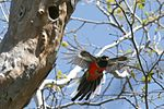 Elegant Trogon (Trogon elegans) in flight.jpg