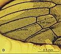 Elephantomyia (E.) pulchella Fig 12 wing tip 01.jpg