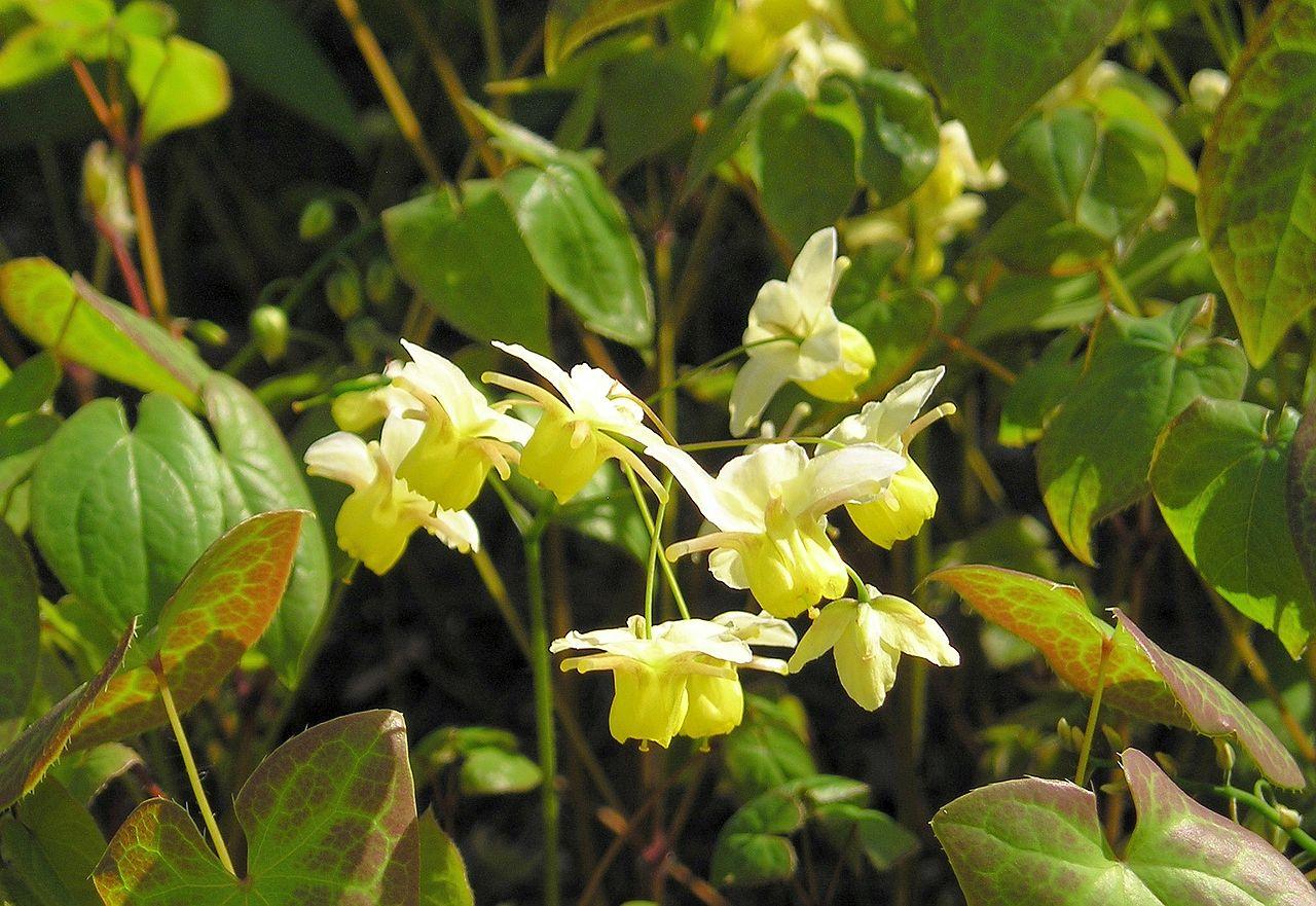 Elfenblume (Epimedium x versicolor).jpg