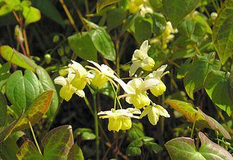 Epimedium - ''Epimedium'' × ''versicolor''