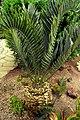EncephalartosHorridusHabitus.jpg